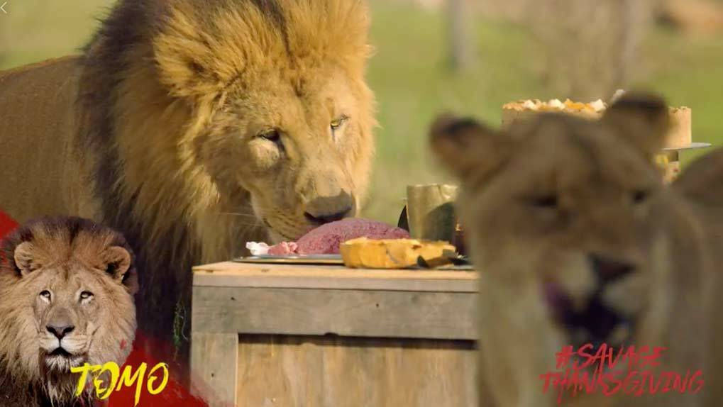 Male lion eating raw ground beef with out of focus female lion in foreground
