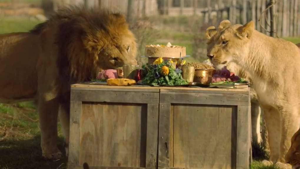 Lions surrounding and eating prepared picnic on top of wooden boxes