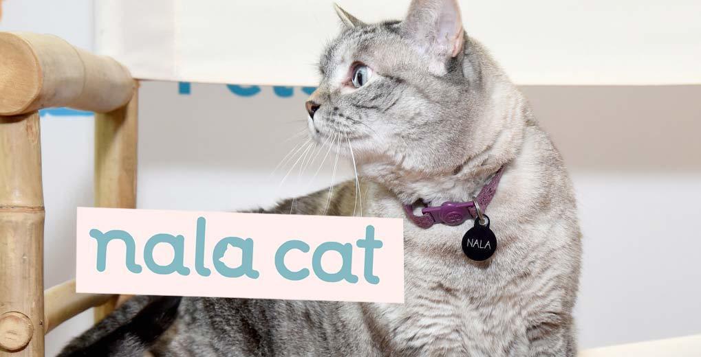 Gray cat with Nala name tag