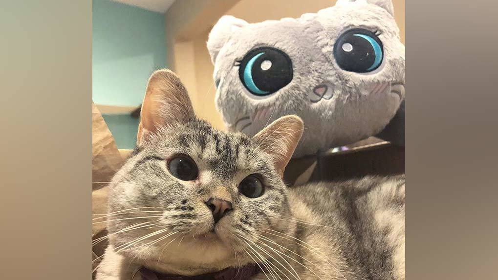 Cute gray cat with gray cat stuffed toy